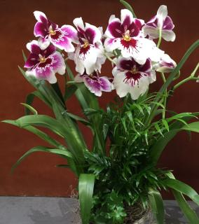 Pansy Orchid Garden