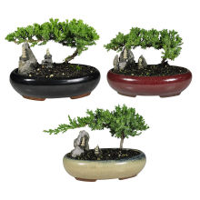 Small Juniper Bonsai