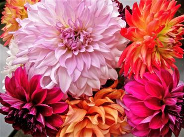 All Dahlias